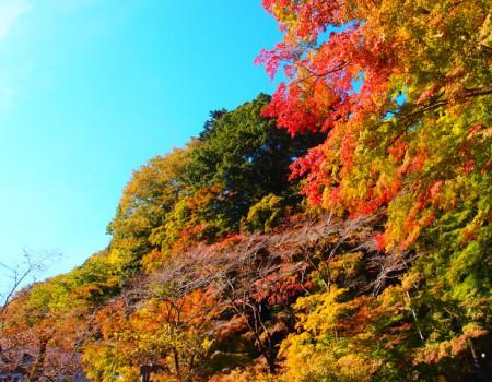 高尾山が綺麗に色づくには…。How the leaf colored beautifully.