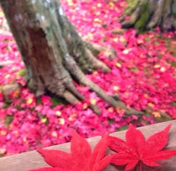 京都大徳寺の紅葉 Autumn leaf in Kyoto daitokuji