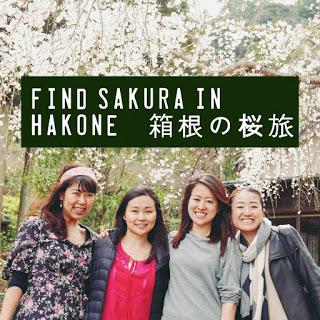 箱根・小田原 日帰り桜旅♩長興山紹太寺のしだれ桜 Weeping Cherry trees in Hakone