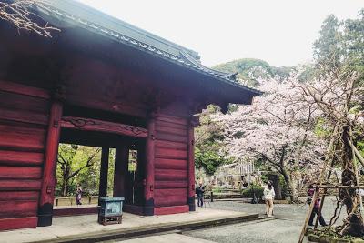 鎌倉 妙本寺の桜  Sakura treest Myohonji-temple,  Kamakura